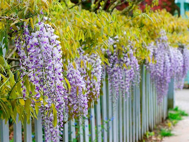 Цветущие деревья возле забора из штакетника