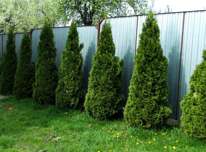 Хвойные деревья возле забора из профнастила