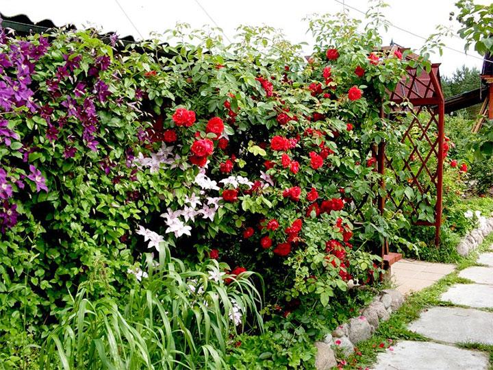Обустройство изгороди из вьющихся цветов