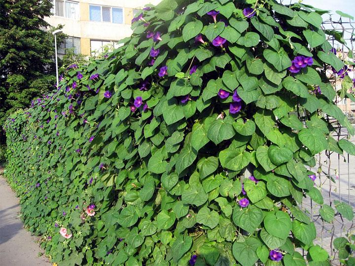 Вьющиеся растения на заборе из сетки-рабицы