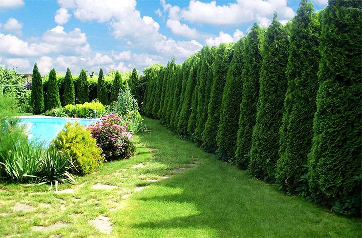 Живая изгородь из хвойных деревьев