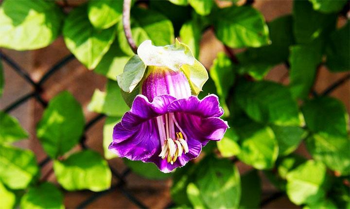 Цветок кобеи лазающей