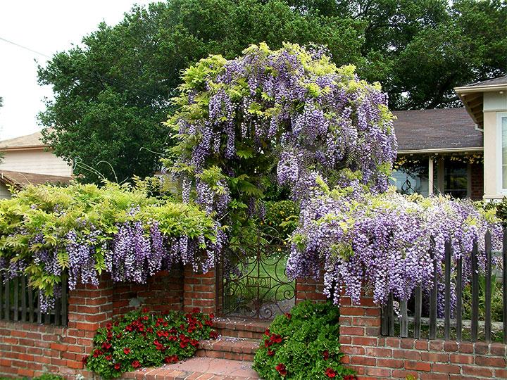 Декорирование двора глицинией