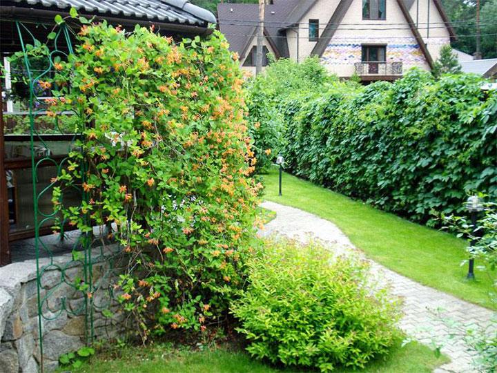 Декорирование жимолостью ограды беседки
