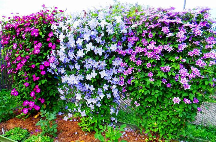 Кусты клематиса разного цвета