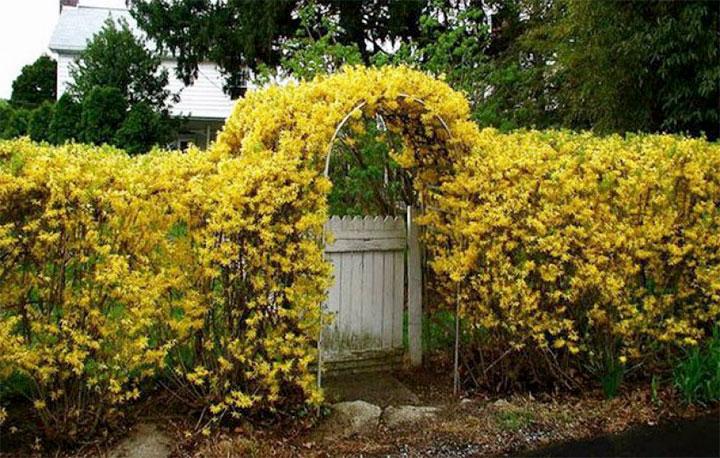 Ограда из цветущей форзиции