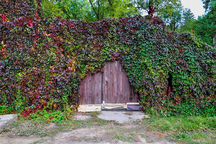 Озеленение забора декоративным виноградом