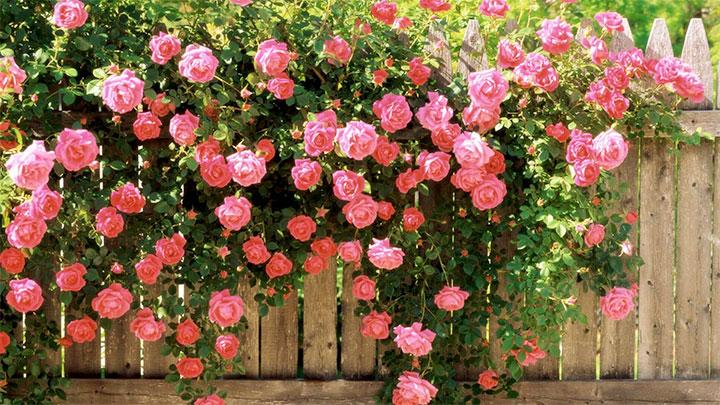 Украшение деревянного забора плетистой розой