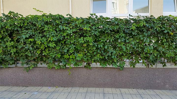 Вьющиеся растения на ограде