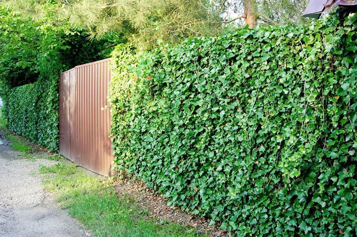 Забор покрытый плющом