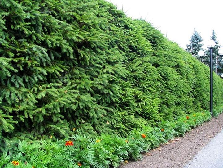 Живая ограда из елей