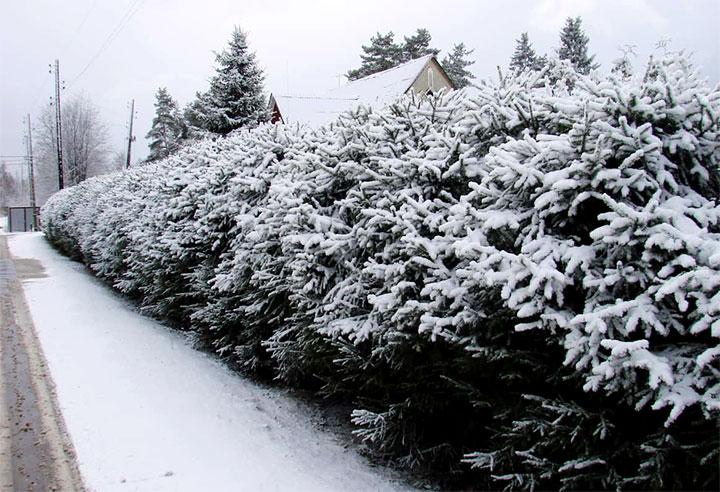 Еловая изгородь зимой