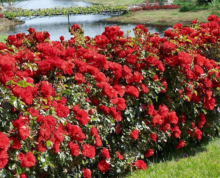 Изгородь из роз у водоема