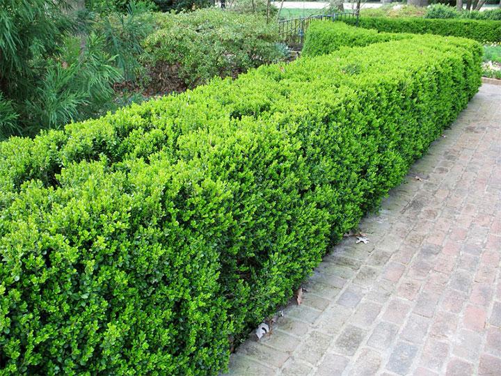 Изгородь из вечнозеленых кустарников