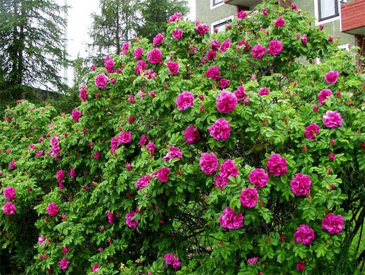 Куст розы Ругоза