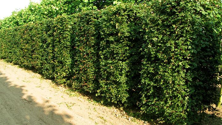 Ограда из высокорослого кустарника