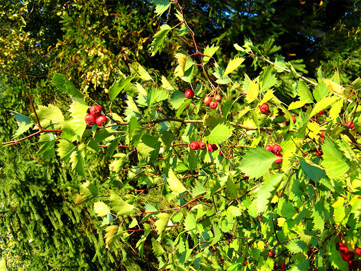 Плоды боярышника на ветке