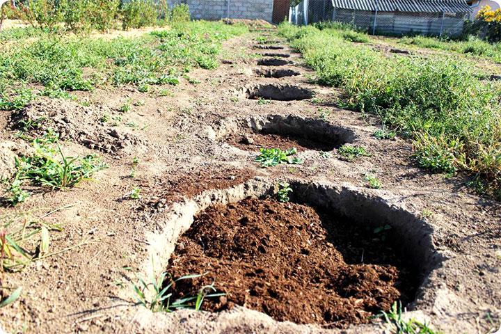 Подготовка почвы к посадке елей