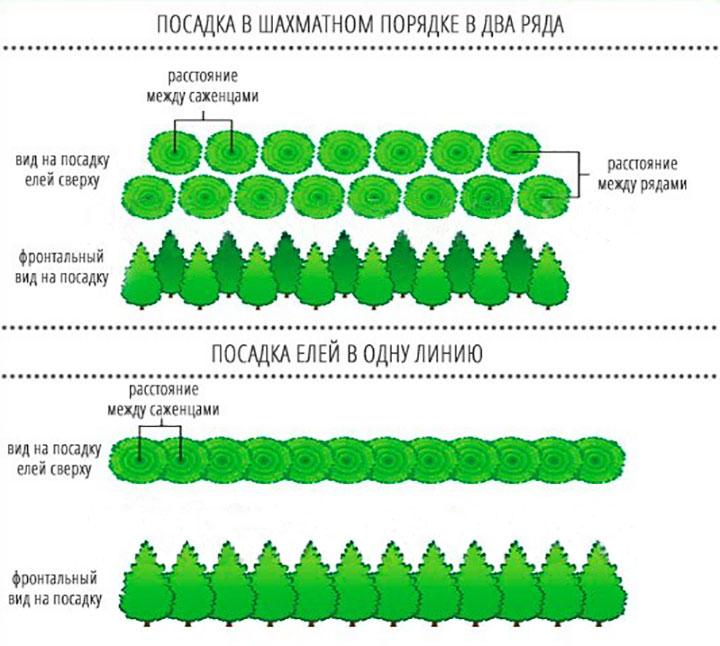Схема посадки елей для живой изгороди