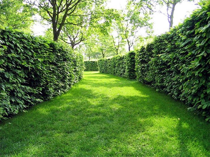 Живая изгородь из кустарника