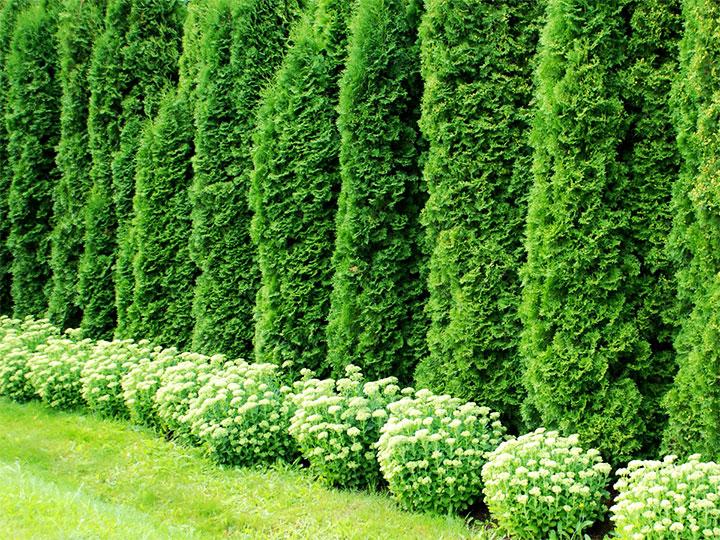 Живой забор из вечнозеленых растений