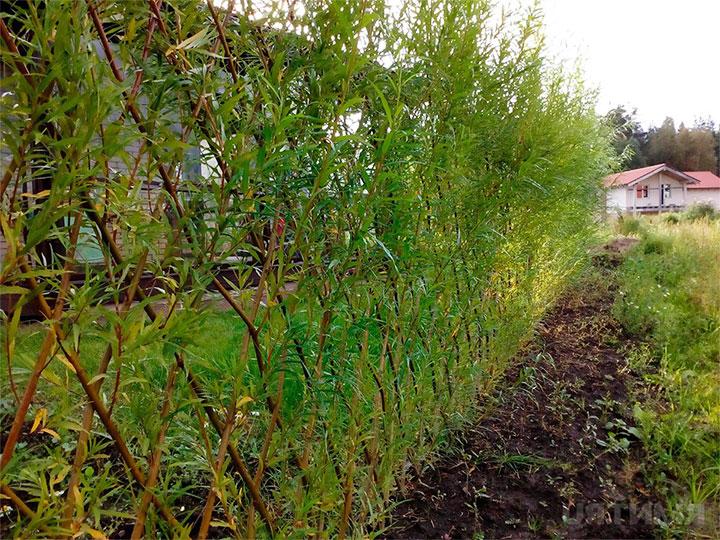 Зонирование участка изгородью из ивы