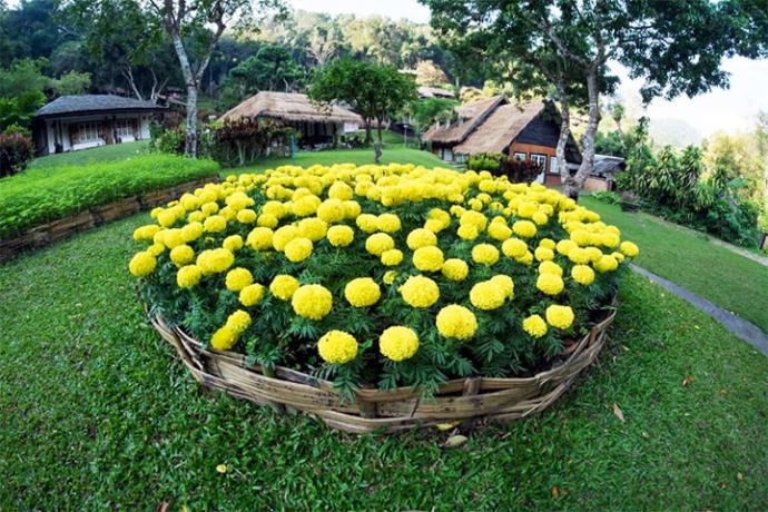 Желтые цветы на участке