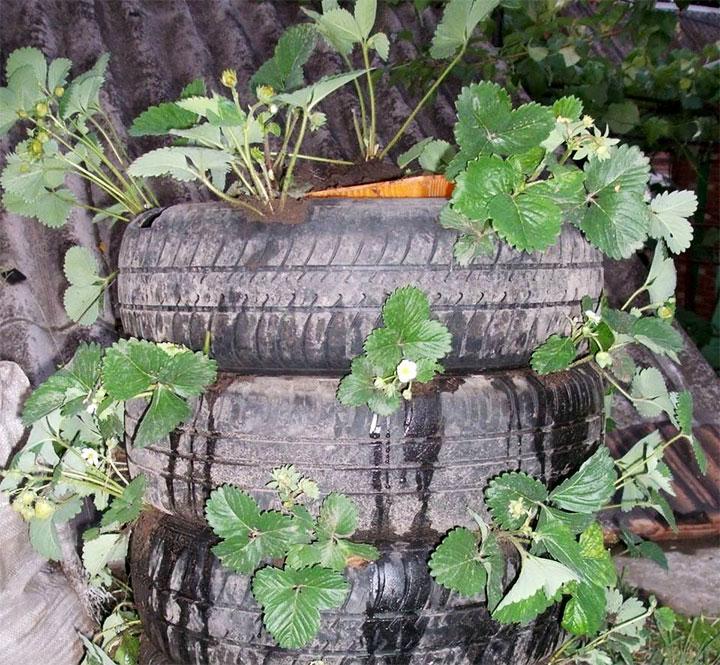 Выращивание клубники в старых покрышках